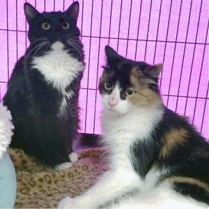 Nala and Jasper are mother and son. She is a beautiful Calico, and he is a handsome Tuxedo kitty. Although he is almost a year old, Nala still treats him like her baby and is always grooming him. Nala is approximately five years old.