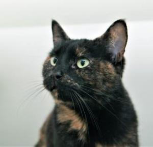 She may be named after a tiny creature, but our cat of the week Pixie is anything but tiny in her personality! Pixie is an outgoing, friendly and playful four-year-old Tortie and she's ready to charm her way right into your heart! She's affectionate and loves nothing more than a good ol' cheek rub.
