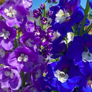 If there was one perennial that personified a cottage garden, I think it would have to be the Delphinium. They are the epitome of what I think of when I picture a Victorian border or even just a simple country garden.