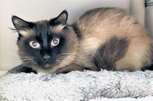 Our cat of the week Dexter is looking for his superhero. This handsome five-year-old longhaired Siamese is very shy and overwhelmed. He came from a situation where he didn't get much human interaction, so he's in the process of learning that humans aren't scary. And this sweet guy is making good progress!