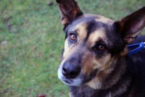 Apollo lives up to his name – he's handsome, confident and intelligent. This nearly six year old German Shepherd mix is ready for adventure and his forever family. He's full of energy and smarts. A family that takes him on hikes, runs and does all sorts of fun activities.