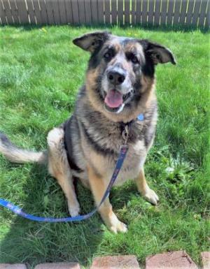 If your life could use a massive infusion of joy, our dog oft he week Beanie is here and ready to make that happen! Beanie is one happy dog. This ten-year-old German Shepherd is always smiling. And her enthusiasm for life is infectious!