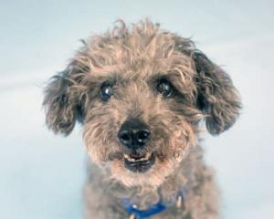 Our dog of the week Fendi is the cutest button of a Miniature Poodle. She has a teeny body, short little legs and a precious nub tail that never stops wagging! She's always so happy and takes everything in stride. Talk about loving life!