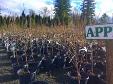 Believe it or not, by the end of this month garden centers will be fully stocked with all the new and tried and true varieties of fruit trees that are well-suited for our unique marine climate. For the most part, these trees will be bare root - which simply means that the roots have no soil on them.