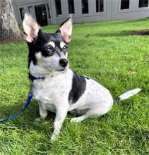 Miniature but mighty! Our dog of the week Buddy may have short little legs, but his personality reaches epic heights! This six-year-old rat terrier mix is spunky, fun and spirited. He knows what he wants and he goes all in. Walks, play time with toys and snuggles. All day, every day.