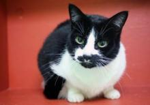 Our cat of the week Bacon's name is pretty silly, and pretty much the opposite of who she is. She's far from salty and she definitely not greasy. This precious six year old kitty is one fine lady. She's sweet as can be and greets everyone with charming chatter.