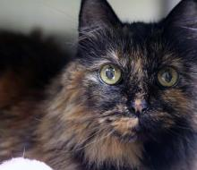 Living up to her name is our cat of the week Bella. This beautiful long-haired tortoiseshell is ready to live a life of pure relaxation. At 15 years young, Bella loves nothing more than snoozing in the sunshine and snuggling in her person's lap.
