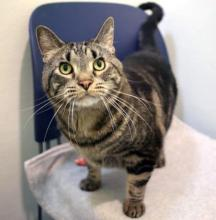 Carter's name might as well be Cartier, because he is that fancy! This handsome guy is one fine tabby cat. He is Affectionate, with a capital A! Chin rubs and cheek scratches are his favorite, and you'll be thanked with paw kneads and deep purrs galore.