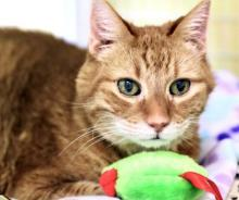 Our cat of the week Chase is looking for his special person. He's an amazingly loving soul who just wants to share his big heart. Chase is easy to please. All he asks for are pets galore. Lap time, cuddle time, brushing time – it's all this 13-year-old's favorites.
