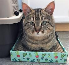 Our cat of the week Daddy Boy's name fits him perfectly – as he was found fending for himself with his two young sons. But now his kids are ready to find their own families and Daddy Boy is striking out on his own! At two-years-old, this handsome tabby is perfection.