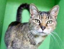 """Our cat of the week Disco really loves the musical genre she's named after and she's looking for someone to sing """"We are Family"""" with her. She's so spunky she'd probably start dancing too! This eight year old torbie is one fantastic feline. She's outgoing, friendly and fun."""