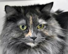 Our cat of the week Lilah is a petite ten year old Persian mix with the most beautiful grey and orange coat. This gal is calm and quiet, and looking for someone to cuddle her and show her true love. She will give it right back! Meet her at Homeward Pet in Woodinville.