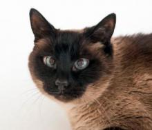 Our cat of the week Muffin is a beautiful seal point Siamese with those classic Siamese features – wide, deep eyes, that are crossed more often than not, and luxurious, soft fur. Sound perfect? You bet! This affectionate and gentle six-year-old is looking for a quiet home to help her come out of her shell.