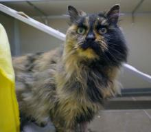 Come meet Nightingale at Seattle Humane today!  Photo courtesy of Seattle Humane.