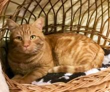 Rusty is a very sweet and handsome kitty. Photo courtesy of Community Cat Coalition.