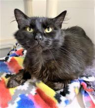 Our cat of the week Sapphire is even more beautiful and sparkly than the gem she's named after. And not only is she beautiful on the outside, she's gorgeous on the inside, too. Sapphire's full of personality and lights up every room she enters.