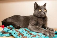 Meet Sheldon: He is a cat for classy, discriminating tastes!  Photo courtesy of Seattle Humane.