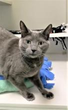 Our cat of the week Silvia has so much personality! This eight year old gal is Fun, with a capital F! She's got a bunch of spunk and she's looking for someone to share it with. If you're staying home more and could use some extra company, Silvia could be the perfect feline for you.
