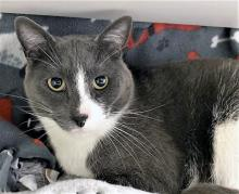 If you're on the search for a Valentine's Day date, stop looking - right now! Our cat of the week Silver is your match! Silver is dressed in his fanciest tuxedo and is ready to purr his way right into your heart. This three-year-old is everything you could want in a cat companion and more. He's gentle, loving and playful.