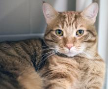 Meet our cat of the week Sven, a handsome and active two-year-old orange tabby. Sven loves his scratching posts, window perches, interactive feed toys, and playtime. One of his favorite games is fetch. Yes, really!
