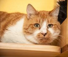 Our cat of the week Twinki is a one-year-old orange and white tabby boy. Although timid, he seems to enjoy human interaction. He has lived around other cats before as a community cat and would likely live well with other cats.