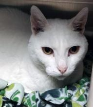 Hoping for some snow this holiday season? If you'd like to add a dose of the white fluff to your life, look no further than our cat of the week Winter! But unlike true snow, Winter is warm and cozy and you can enjoy spending time with him from the comfort of your own home!