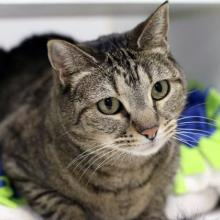 Our cat oft he week Ziggy is a sweet, and sometimes quirky, seven-year-old brown tabby and she's on the prowl for her new family!  Her favorite things to do are gaze out the window, get pets from her human and chase down toys when she's feeling spicy.