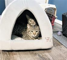What's better than one fantastic feline? Two! Our cats of the week Forrest and Fern are a bonded pair of tabbies ready for their happy ever after. At about six years old, they are a great mix of energetic and chill. They enjoy snoozing together during the day, but at night, they don't hold back!