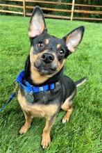 Our dog of the week Coco is more than ready to find his forever family! This two-year-old is full of playful spunk. His favorite thing to do is grab his stuffed toy, run around flipping it up into the air and then catching it again! He loves showing off his quick moves and athletic nature.