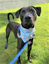 If you're looking for a hiking, jogging or adventurer buddy, look no further than our dog of the week Beau! This spunky eight-month-old Hound mix is always ready to go!