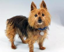 Meet Bender, an eleven year old Australian Terrier at Homeward Pet today! Photo courtesy of Homeward Pet.