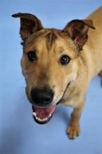 Bobby is a one year old Shepherd/Lab mix with a BIG personality!  Photo courtesy of Homeward Pet.