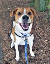 Hang around our dog of the week Cowboy for just one minute and you'll get caught up in his joyous nature. He is hilarious when he plays with toys and will have you rolling in laughter as he runs around like an uncoordinated puppy, all the while making noises you won't believe came from a dog.