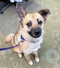 If you spend any time with our dog of the week Foxy, you'll quickly realize she's a joyful little dog. It seems like she goes through life with a happy tune in her head. Always with a pep in her step, sometimes it even looks like she's prancing!