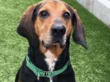 Kato is a very lovable and athletic four-year-old Coonhound! Photo courtesy of Seattle Humane.