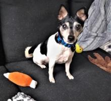 Our dog of the week Kid acts much like a kid herself! She's playful, silly and all-around wonderful. At nine-years-young, Kid is still full of spunk, in true Rat Terrier fashion, and enjoys romping around with toys and her person. If you give her a play bow, she gives one right back!