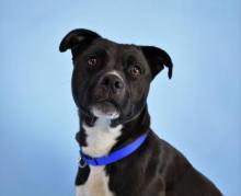 Our dog of the week Miss Marley is about two years old and looking for a family with just teens and adults that is excited to put her busy and bright brain to work and participate in daily training and exercise with her. Meet her at Homeward Pet in Woodinville.