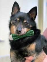 Our dog of the week Melvin scores straight 10s across the board. In all categories he's an ace. Looks, style, personality, you name it, he's winning at it. Though what we love best about this ten-year-old Miniature Pinscher mix is his charm. You will smile ear to ear the moment you meet him.