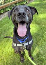 Our dog of the week Pepper is absolutely the king of pep! He is never seen without a toy in his mouth and a tail wagging at the speed of light. Pepper greets everybody by showing off his favorite toy – but what toy he opts to show you changes each time!