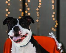 "Meet our dog of the week Sandra Day O'Connor, a two-year-old American Staffordshire Terrier! Sandy is an energetic and enthusiastic girl: what we call a ""Rambunctious Rover."" This means that she can get really excited over little things."