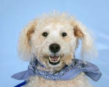 Our dog of the week Shadow is a quirky and silly guy, so we've given him a silly sounding breed name - Schnoodle. He's a Schnauzer/Poodle mix - and he's wonderful! This six-year-old pup is fun, playful and cuddly. He bonds very strongly, and quickly, to his humans.