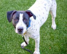 Meet Spotty Dog at Seattle Humane today! Photo courtesy of Seattle Humane.