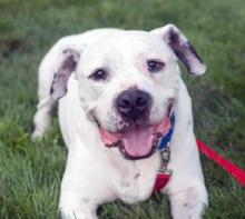 Our dog of the week Tyrone is truly one-of-a-kind! This fabulous ten-year-old American Bulldog mix is award worthy. He's an all-star at lap time, he's pro at laying on your feet and he's a master at receiving belly rubs. Tyrone bonds very strongly with his humans and likes to spend a lot of his time being around them.