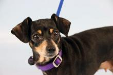 Precious little Penny. This petite 11-year-old Dachshund is made up of sugar, spice and everything nice. Our dog of the week Penny is an easy keeper who doesn't ask for more than snuggles, companionship and daily strolls around the neighborhood. Oh, and belly rubs!