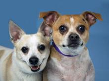 Meet Bruiser and Goliath at Homeward Pet in Woodinville.  Photo courtesy of Homeward Pet.