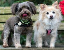Meet our dogs of the week Blondie Praline and Coco Praline. Blondie, a male Chihuahua mix, and Coco, a female Shihtzu, spent their entire lives together. Because of their strong bond, we hope to find them a new, loving family together.