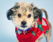 No, you're not looking at a holiday elf – you're looking at FeeBee! Our dog of the week FeeBee is dressed in her bright red and green holiday sweater, and she's ready to bring cheer into your home! FeeBee is cute as can be.