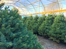 """As gardeners, the concept of """"going natural"""" is nothing new. Whatever our reasons, whenever practical we tend to shy away from synthetics and instead choose products that are natural. In the case of Christmas trees, we have the same choices - one is buying an artificial tree, and the other is buying a real tree."""