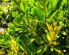 """Euonymus japonica is a nice shrub with glossy, one-inch round leaves that can be found in many commercial settings due to its ease of growing, tolerance of a range of soils and sunlight conditions. Varieties like """"Silver King,"""" """"Silver Queen,"""" and """"Chollipo,"""" with their bright green and white variegated foliage, are commonly found."""