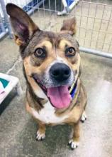 Ask anybody what makes our dog of the week Kami so cute and you'll get a few different answers. Some might say it's her smile, others may say it's her ears, but one hundred percent of people say it's all of that and more.